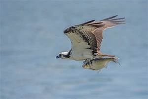 5 fascinating facts about the odd but awesome osprey | MNN ...