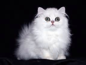 doll cat doll faced cat 7 gorgeous doll cats