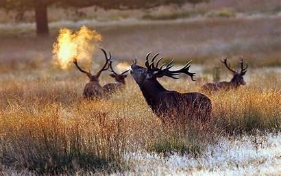 Elk Bull Deer Morning Cold Snow Desktop