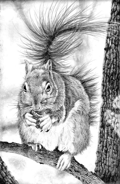 squirrels sketches images  pinterest