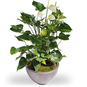 kamerplant met rose bloemen witte anthurium bosbloemenbezorgen nl