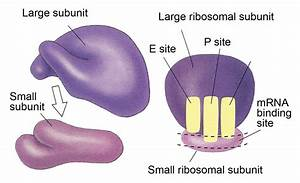 Cell On Twitter   U0026quot Ribosome  Cell Structure That Makes