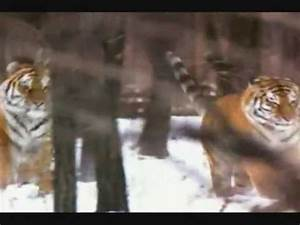 Siberian Tiger vs MALE LIons. SIBERIAN TIGERS TWO TIMES ...