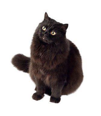 york chocolate cat cat breeds characteristics feeding