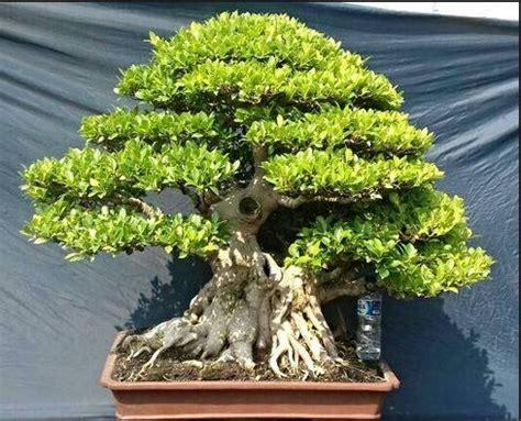 bonsai images pinterest bonsai bonsai trees