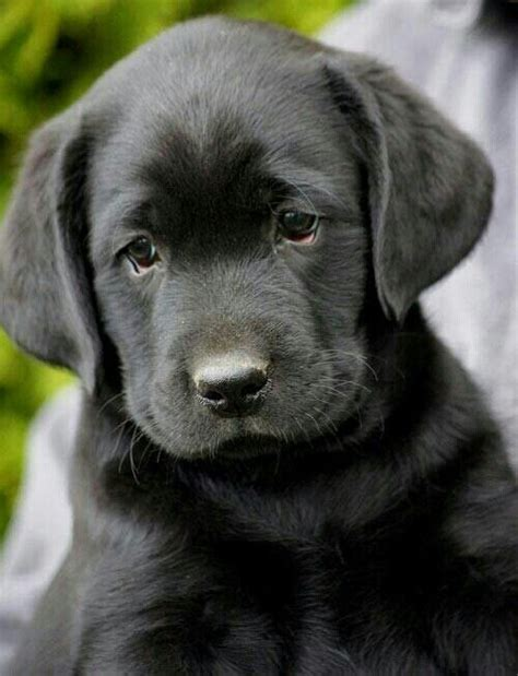 Baby Black Lab Puppies