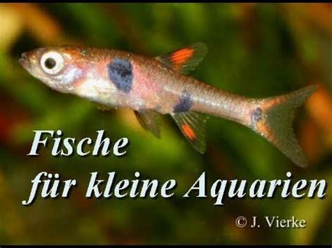 fische kleines aquarium fische f 252 r kleinaquarien nano aquarien 1 teil