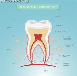Tooth Morphology And Anatomy Chart Eps Downloads