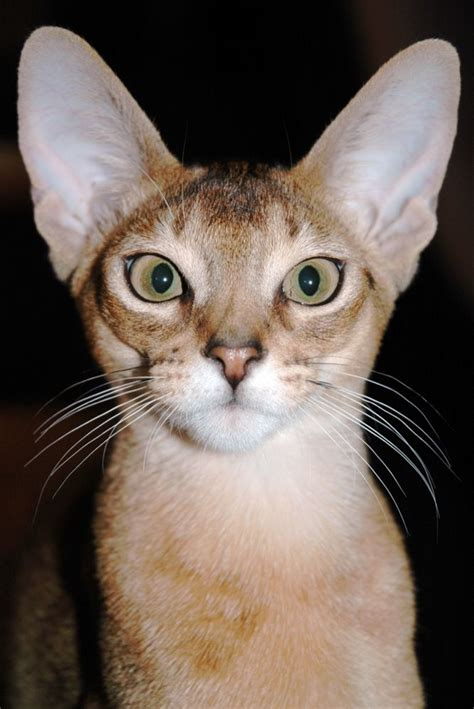 Abyssinian Cat I Love These Cats But Those Are Some Big