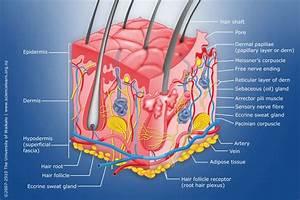 Diagram Of Human Skin Layers