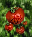 Genetically Modified Tomatoes Photograph by Victor Habbick ...