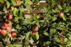 Apfelbaum Wann Schneiden : apfelbaum schneiden wann apfelbaum schneiden garten rasenpflege obstb ume richtig schneiden ~ Frokenaadalensverden.com Haus und Dekorationen