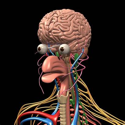 Anatomy Nervous Brain System Human Motioncow Organ