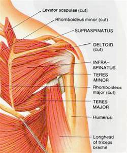 Muscles Of The Shoulder Posterior