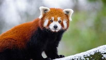 Panda 5k 4k Wallpapers Animals Laptop Resolution