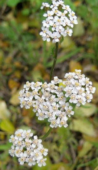 fiori per l anima achill 233 e blanche repertorio francese deva fiori per l