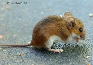 Que Mange Une Souris Dans Une Maison : liminer souris maison latest good les souris peuvent se frayer un chemin jusque dans les et les ~ Melissatoandfro.com Idées de Décoration