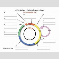 Lifescitrcorg  Cells Alive!  Cell Cycle Worksheet