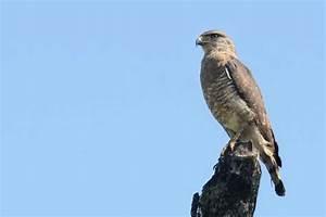 Southern Banded Snake-Eagle