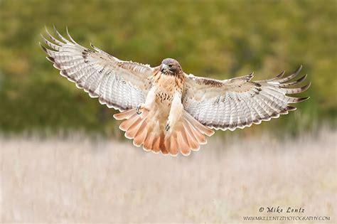 red tailed hawk buteo jamaicensis  explore raptors