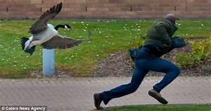 Terrorised By A Very Protective Mother Goose  Students