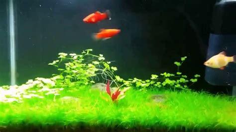 Aquascaping Tips by Aquascape Tips Hydrocotil Plant Shrimp Moss Platy