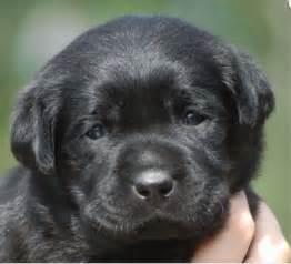 English Black Lab Puppies