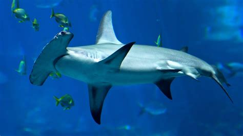 hammerhead shark hd wallpapers  mobile phones