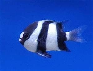 Three Striped Damsel Fish | Fascinating Fish | Pinterest ...