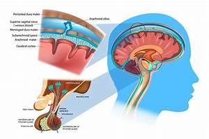 Brain Anatomy  The Function And Layers Of The Meninges