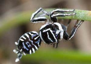 Incredibly detailed photos of Australian peacock spider ...