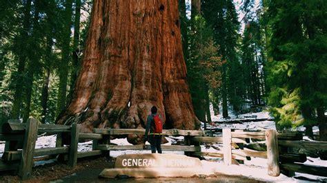 general sherman   largest tree   world