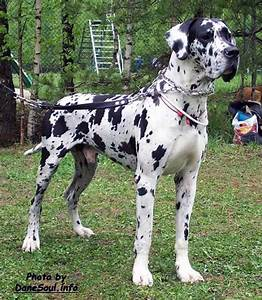 1000+ images about GREAT DANES on Pinterest | Harlequin ...