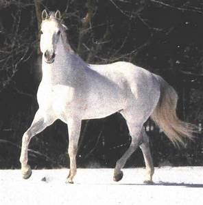 Nice Pictures: White Horses