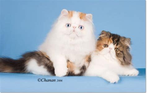 Famous Cat- Purrinlot's Anna's Gift- Worlds