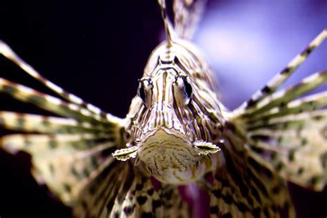 devil firefish common lionfish species  oceans