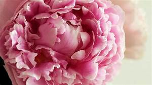 Peony HD Wallpaper, Picture, Image