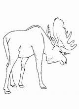 Moose Coloring Animal Printable Preschool Drawing Deer Track Template Head Colouring Realistic Alaska Sheets Fresh Cartoon Sketch Getcolorings Hunting Getcoloringpages sketch template
