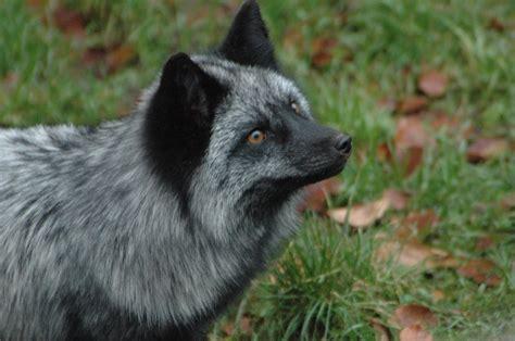 silver fox wallpaper gallery