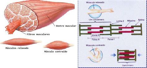 cinesiologia miologia