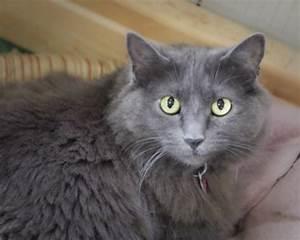 Sandy Domestic Long Hair Gray Russian Blue Cat Pets