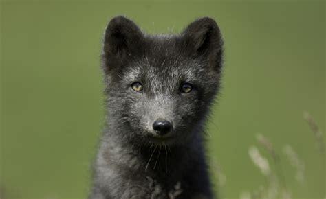raccoon caught  killed  keflavik airport