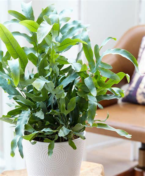 buy house plants  rockcap fern blue star bakkercom