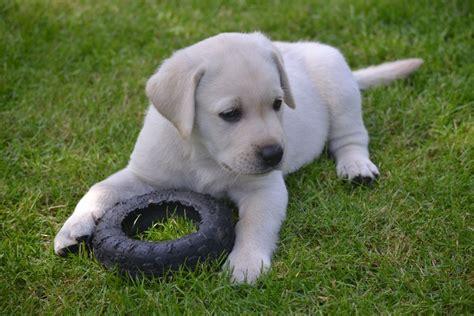 Labrador Puppies For Sale  Bishops Stortford