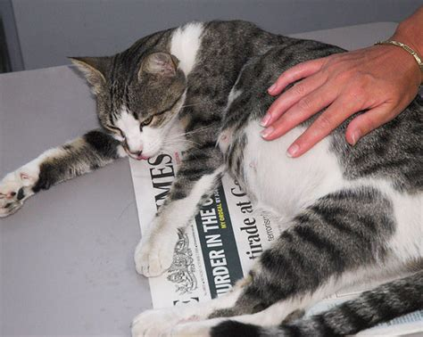 cat pregnancy how to care for a pregnant cat pm press