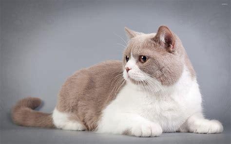 fat cat wallpapers animals animal
