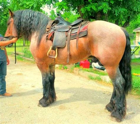 draft belgian horses horse saddle buckskin western pretty don often interesting riding saddles trail ride bay visit drafts breeds uploaded