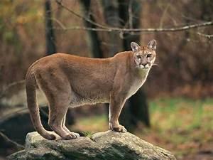 Mountain Lion | Animal Wildlife