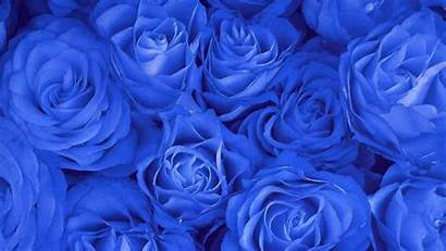 Rose Computer Wallpapers Roses Flowers Blues