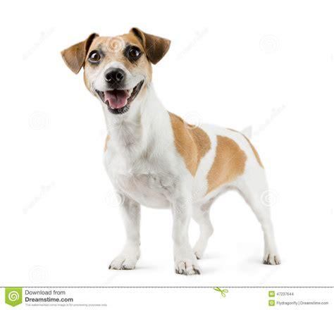 Dog Jack Russell Terrier In Full Length Stock Photo ...